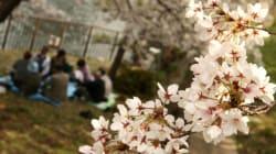 今週末は東京も桜が見頃 お花見日和はいつ(吉田友海)