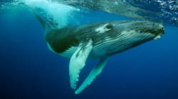 Humpback Whales Are No Longer 'Threatened' and it Has Nothing to Do With
