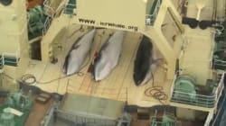 Le Japon interdit de chasse à la baleine dans