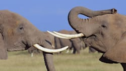 Do We Love Elephants Enough to Save Them From