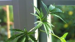 Tra poche ore coltivare marijuana non sarà più
