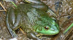 Bullfrogs Size Of DINNER PLATES On