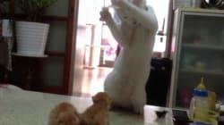 Ce chat donne des cours de boxe à des chatons