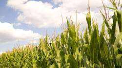 Union européenne: le choix de cultiver ou non les OGM revient aux