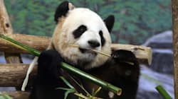 Another Panda For The Toronto