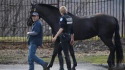 Un cheval du Service de police de Montréal part en