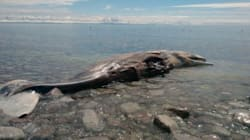 Une carcasse de baleine en vente sur eBay pendant quelques