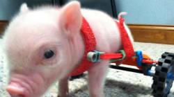 Inno alla vita per Chris P Bacon, il maialino su due ruote (FOTO,