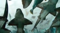 170 requins capturés pour un programme controversé en