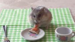 Après le mini burrito, voici le hamster qui mange une mini