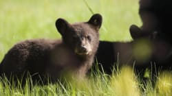 Killing More Bears Won't Reduce Human-Bear