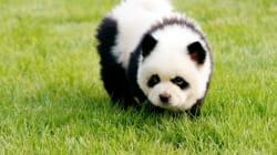 La nouvelle race des chiens pandas