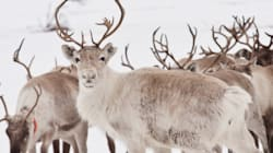 Crucial Caribou Habitat Lost To Energy