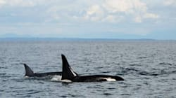 LOOK: World's Oldest-Known Orca Spotted In