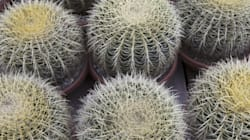 Study Warns Of Mass Cactus