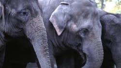Calgary Elephants Settling In Just Fine In
