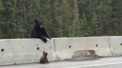 Une maman ourse sauve son bébé bloqué sur le bord d'une autoroute