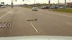 Une famille de canards bloque la