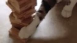 Video: Jenga-Playing Cat Is A Sore