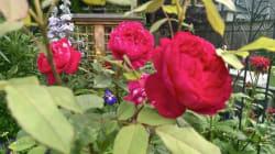 Les rosiers rustiques du Québec adaptés à notre