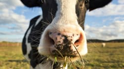 Turning 500 Tonnes of Cow Poop a Day into Renewable