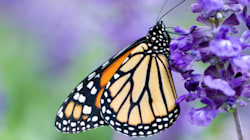We're Losing Our Monarch Butterflies, And GM Crops Could Be To