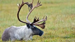 Caribou Recovery Plan Completely