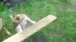 Ce chien sait jouer à rapporter la balle tout