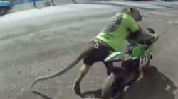 La scimmia motociclista