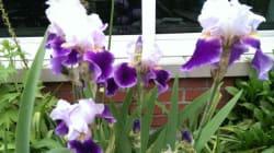 Les iris, des joyaux au jardin qui ne demandent presque pas de
