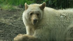 LOOK: White Bear Makes Calgary Zoo