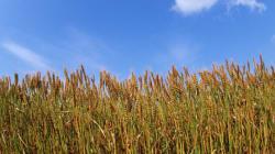 「あさイチ」がイチオシ!知られざる大麦パワーに注目