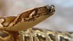 Saint-Eustache: le python reste