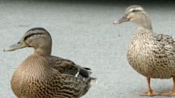 La conductrice qui s'est arrêtée devant des canards porte en appel son