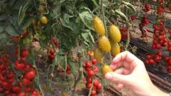 FW13, la tomate qui ne pourrit