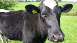 Vaches laitières: pourquoi il faut diversifier leur patrimoine