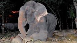 Este elefante lloró al ser rescatado tras 50 años de cautiverio (VÍDEO,