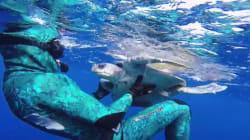El agradecimiento de una tortuga al submarinista que la salvó (VÍDEO,