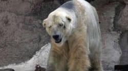 Arturo è l'orso polare più triste del mondo