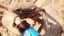 Ce crabe est un voleur... de