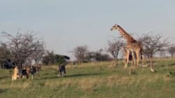 Mommy Giraffe Protects Her Baby Against Pride Of