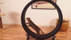 «One Fast Cat»: la nouvelle roue de hamster... pour