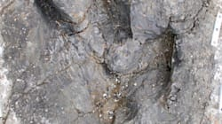 B.C. Tyrannosaur Footprints Paint New Picture Of