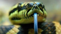 Chassé d'un restaurant, il se venge en lâchant un python