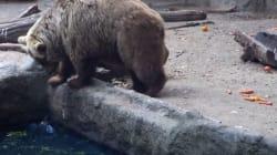Un ours brun sauve un corbeau de la noyade dans le zoo de
