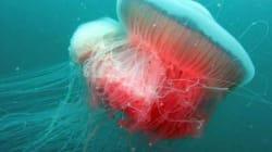 Drymonema, la maxi medusa fotografata nell'Adriatico