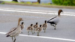 Woman Who Stopped For Ducks With Fatal Results To Learn