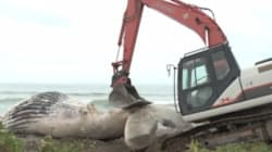 ►GRAPHIC: Moving A Dead Humpback Is Grosser Than You