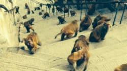 Une claque de singe à Katmandou - Nicolas