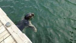 Un phoque aperçu à Montréal et à Longueuil